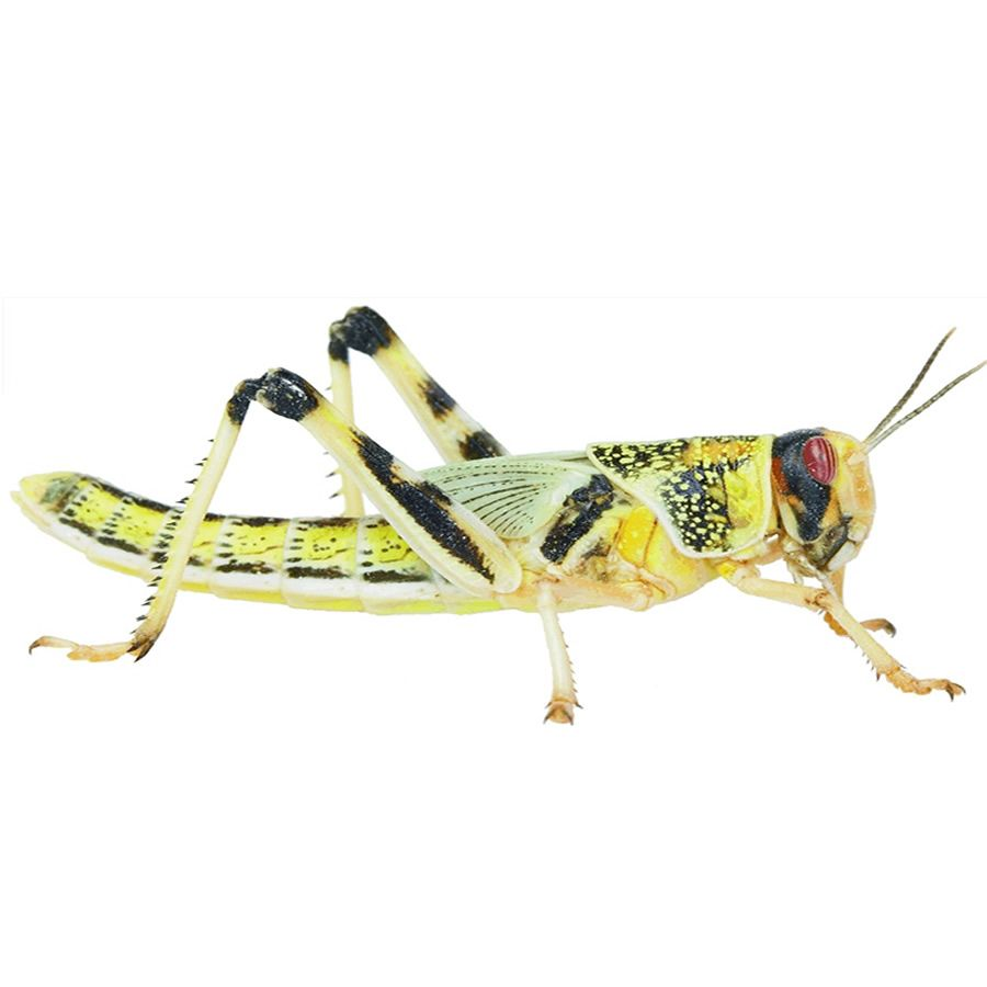 Locusts, Extra-Large (Bag of 50)